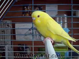adanada satılık muhabbet kuşu