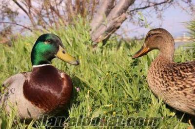 Yeşil başlı yaban ördeği , horoz ve tavuk satılır (yumurtlamaktadır)
