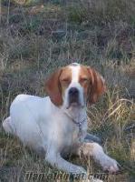 sahibinden sarıkafa ingiliz pointer av köpeği