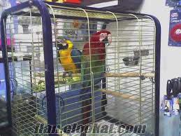 Şişlide ara papagan