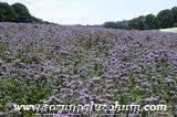 Arı otu tohumu fiyatları, arı otu tohumu yetıstırılıcıgı Arı otu tohumu sertifi