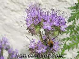Arı otu tohumu, arı otu tohumu fiyatları 2012, arı otu bal fiyatları, satılık a