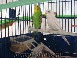 adanada satlık sağlıklı muhabbet kuşları