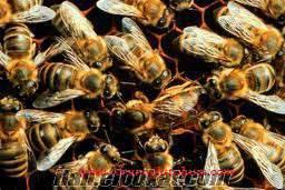 Sertifikalı arı otu tohumu, arı otu tohumu fiyatları