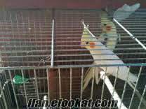Damızlık Erkek Sultan Papağanı
