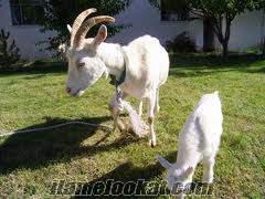 balıkesirde satılık en ucuz saanen keçi