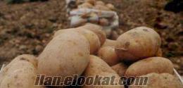 Şuhut Sarı patatesi (Agrıa cinsi ) Afyon Şuhut patatesi