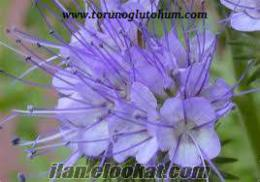 Arı otu tohumu, arı otu tohumu fiyatları 2012