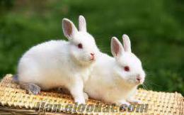 satılık tavşan çorlu