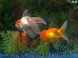 erkek ve dişi sürekli çifleşen japon balığı damızlık