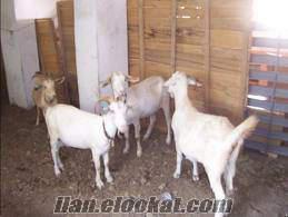 Satılık Saanen Keçisi Ve Yavruları