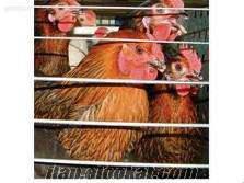 Cins horozlar ve tavuklar acil satılıktır.
