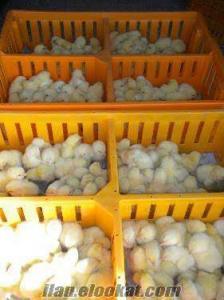 satılık hindi etlik civciv kaz ördek bıldırcın ve yumurtası ve civcivleri )