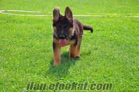 Alman Çoban Köpeği yavrusu arıyorum