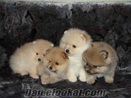Pomeranian Boo gönüllü sahiplendirme