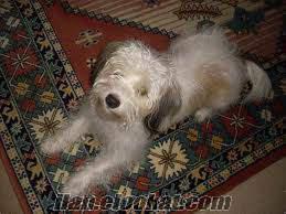 beyaz terrier yavrumuza ücretsiz yuva arıyoruz