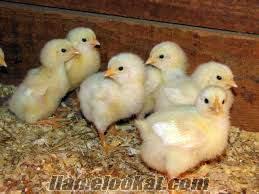 bursada üreticiden etlik yumurtalık civciv satışı