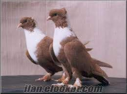 Yozgat Şefaatlide ücretsiz güvercin
