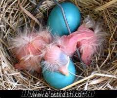 PAPAGAN yumurtası ALIYORUM