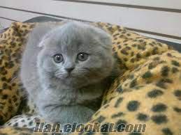 skotişfold kedi yavruları