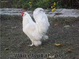 Manisa Salihlide paçalı tavuk