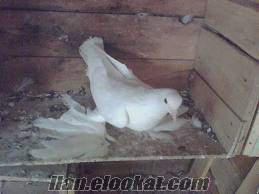 satılık güvercinler malatya, taklacı, adana, miski cinsi güvercinler vardırsatıl