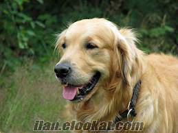 eskişehirden evde bakılacak golden cinsi köpek arıyorum