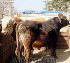 satlık kurbanlık besilik dana düve inek boğa tosun mozik