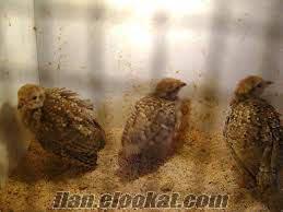 kayseride sahibinden satılık palaz keklikler