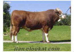uygun fiyata kurbanlık dana düve inek boğa satyoruz