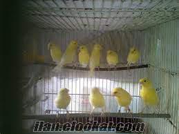 çorluda satılık 2012 malinoa kanarya yavruları