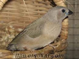 Gouldian Finch - Gökkuşağı ispinozu