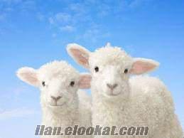 Boluda koyun ve kuzu