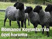 ithal merinos ve romanov kuzu satışları karakaya trm hayvancılık