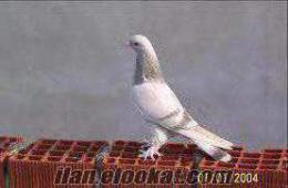 Ağrıda satılık sarı güvercin