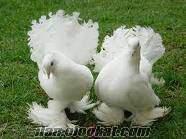 Aydında süs güvercinleri