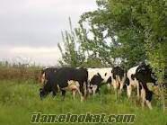 8 aylık gebe düve ve inekler 30 ve 35 kg arası süt vermektedir