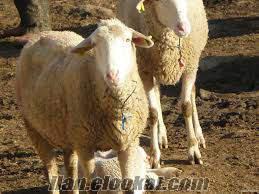 kastamonu araç tuzaklı köyü toptan ve satılık yanında kuzulu 50 adet koyun