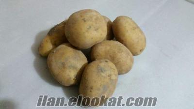 kuskayasından satılık 1. ekim agria ve melody tohumluk patates
