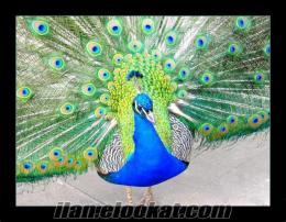 satılık tavus kuşları