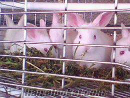yavru tavşan - satılık tavşan - tavşan eti