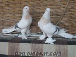 Satılık kümes hayvanları köpekler güvercinler