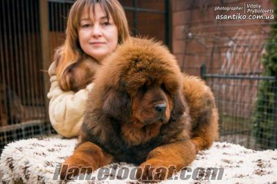 "Kennel Tibet Mastiffs ""Asantiko"""