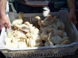 etlik hindi civcivi istediğiniz miktarda satılır.