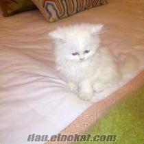 İstanbuldan sahibinden satılık Van kedisi