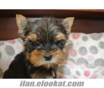 sahibinden sıfır numara yorkshire terrier yavrusu