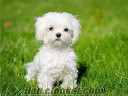 ücretsiz maltese terrier yavru