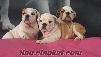 englısh bulldog yavruları