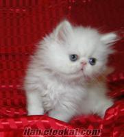satılık çok özel iran kedilerimiz. aşı karneli ve ırk garantili teslim edilecekt