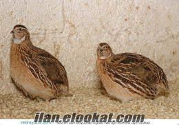 Bıldırcın keklik hindi etlik civciv kaz pekin ördek civciv satılır